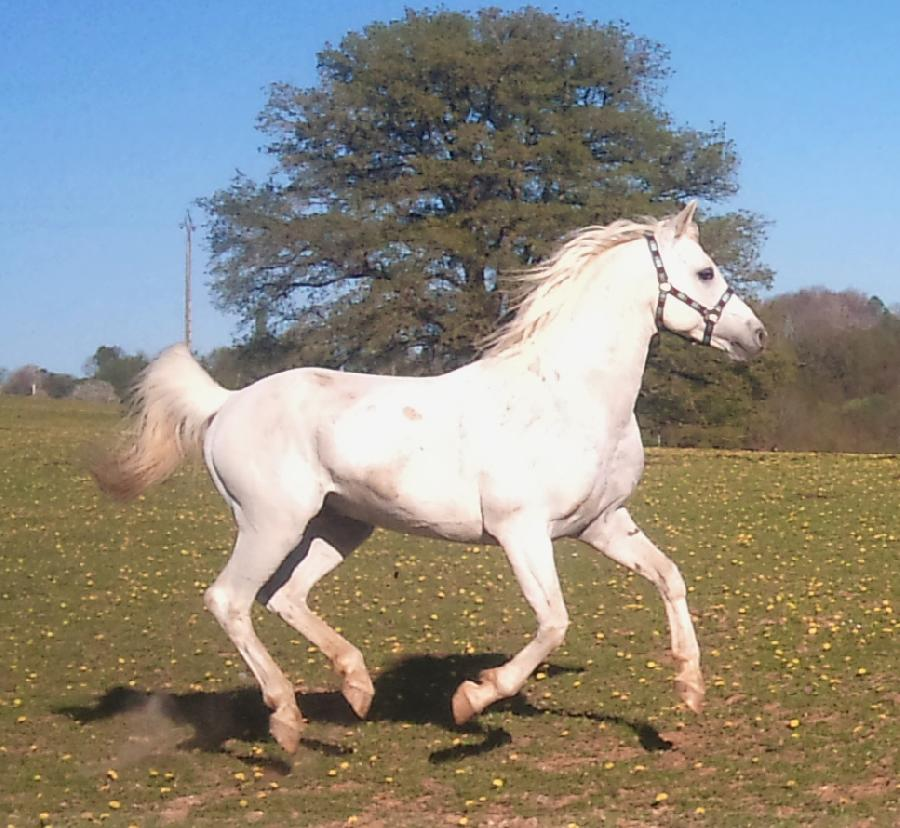 cheval arabe gris a vendre